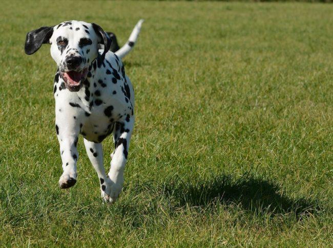 alt属性の説明:投げたものを取ってくるダルメシアンの子犬